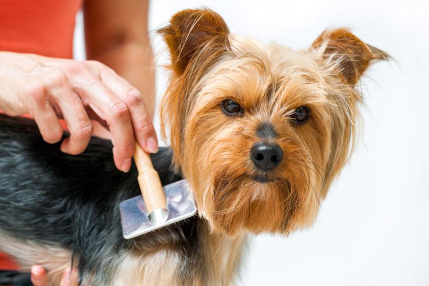 Image result for yorkie Hund saugen Sie die Haare Ihres Hundes