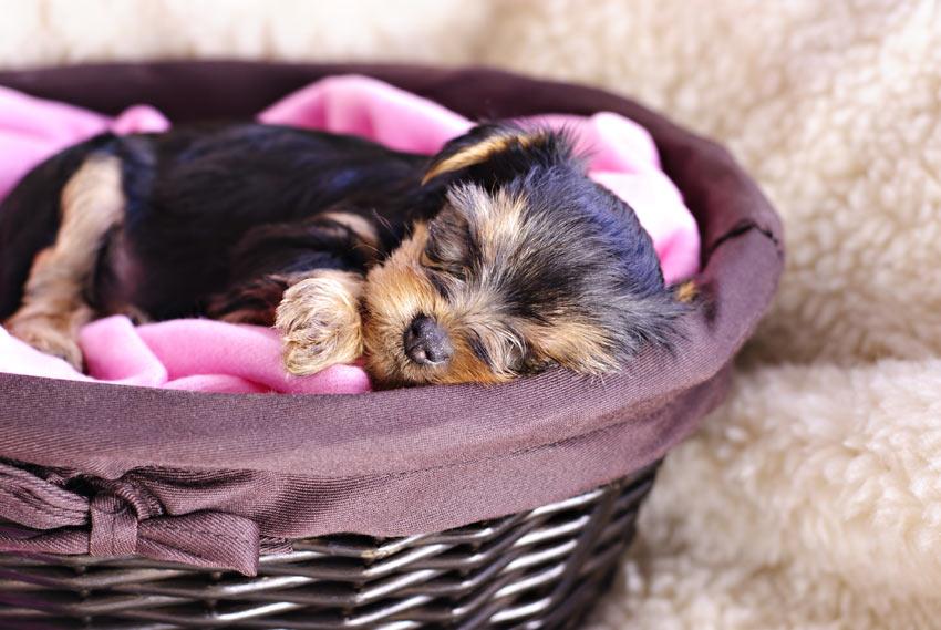 Ein Yorkshire Terrier Welpe schläft nachts in seinem Bettchen
