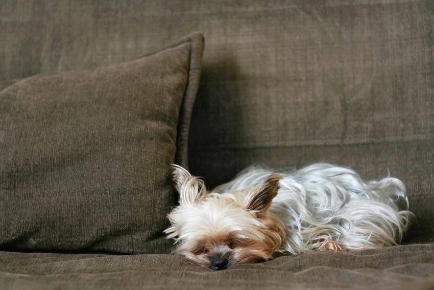 Ein Yorkshire Terrier entspannt sich auf dem Sofa und testet die Autorität seines Besitzers