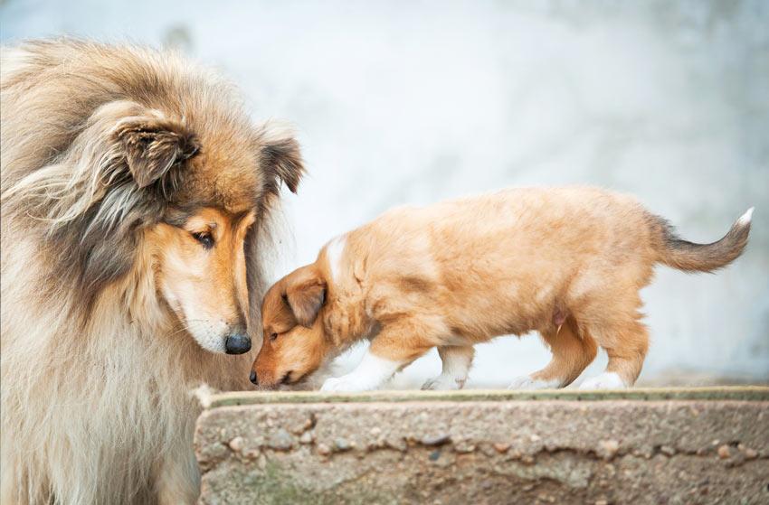 Eine erwachsene Collie Hündin sieht nach ihrem jungen Welpen