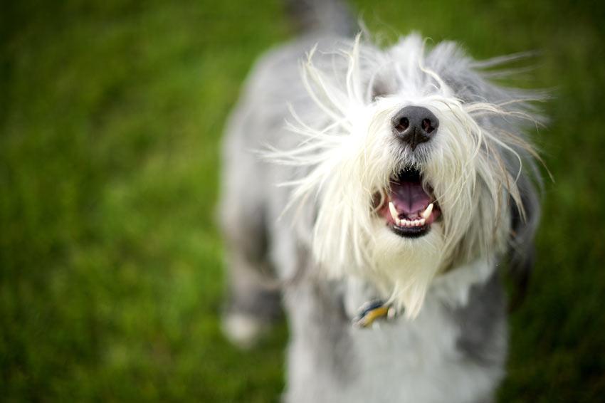 Ein Bearded Collie bellt seinen Besitzer an und möchte an ihm hochspringen