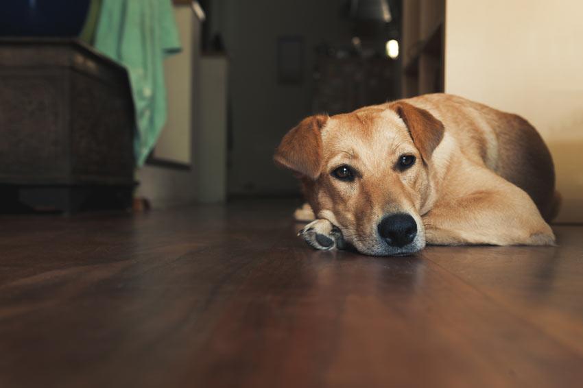 Ein wunderschöner erwachsener Labrador Retriever liegt auf dem Fußboden