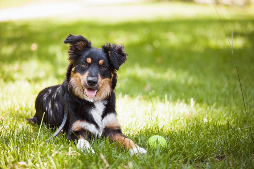Ein wunderschöner erwachsener Hund ruht sich auf dem Gras im Garten aus