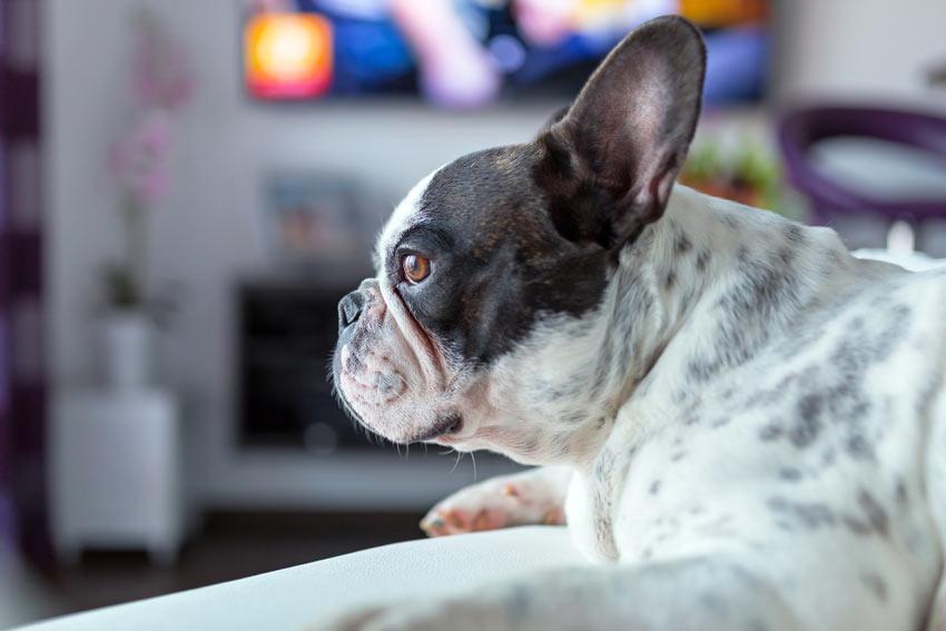 Eine wunderschöne schwarz-weiße Französische Bulldogge sieht fern