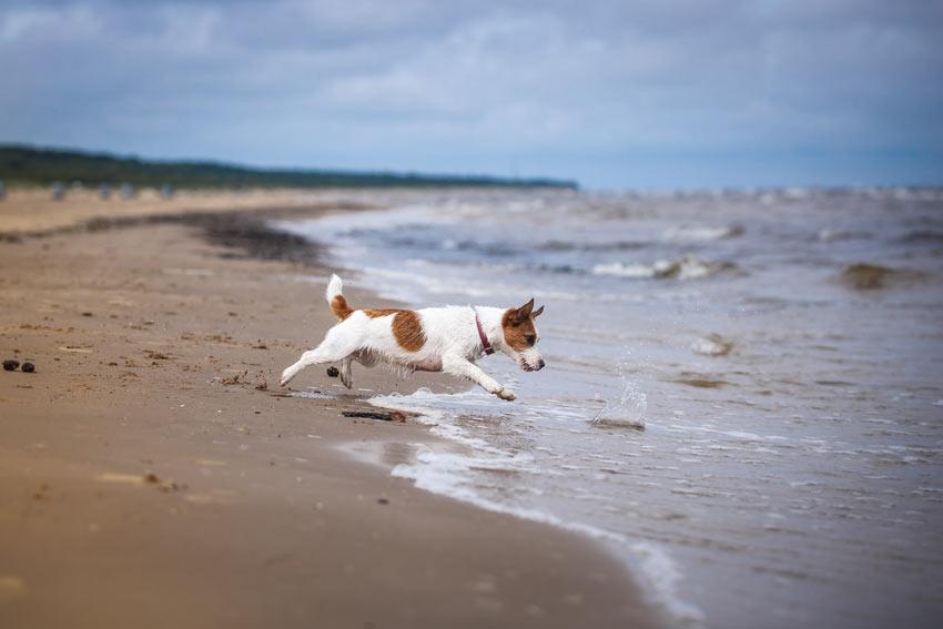 Ein wunderschöner Jack Russel Terrier rennt über den Sand dem Meer entgegen