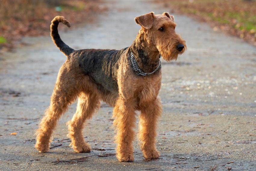Ein wunderschön rauhaariger, mittelgroßer Airedale Terrier