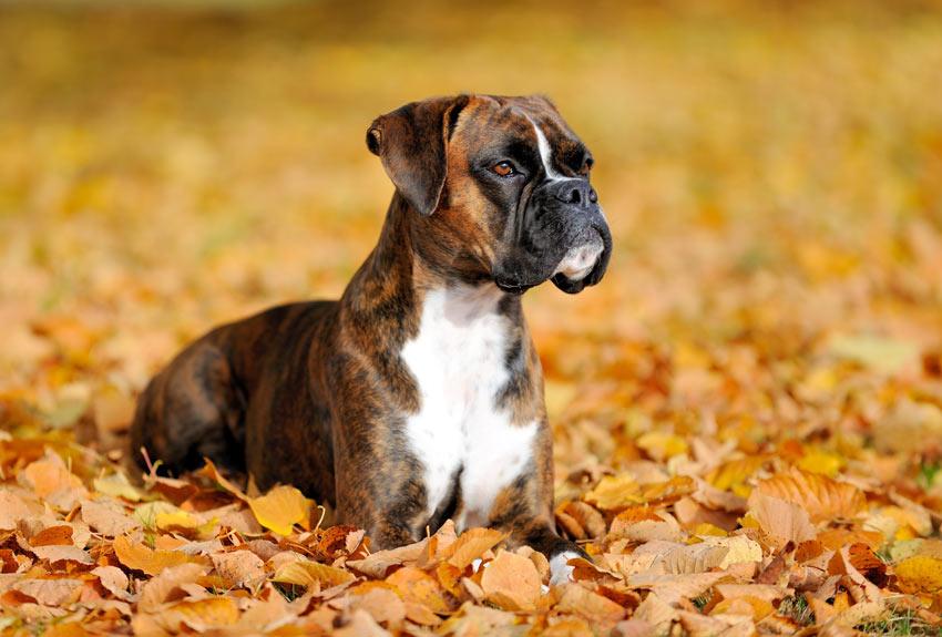 Ein wunderschöner junger Boxer liegt im Herbstlaub