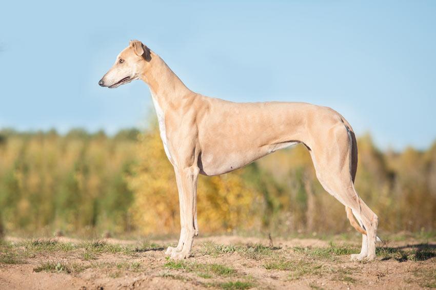 Ein wunderschöner, junger Greyhound mit einem unglaublich glatten Fell