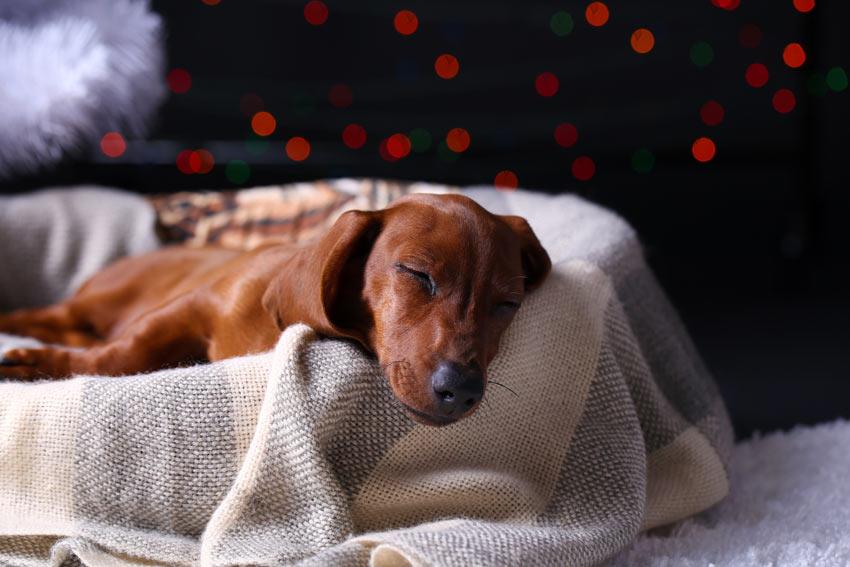 Ein wunderschöner junger Hund schläft nachts in seinem Körbchen