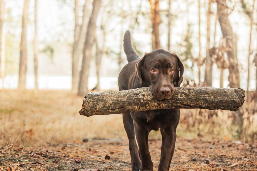 Ein schokoladenbrauner Labrador trägt einen Baumstamm