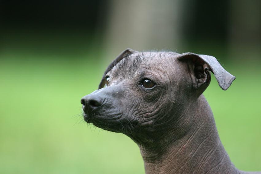 Nahaufnahme von einem wunderschönen Mexikanischen Nackthund