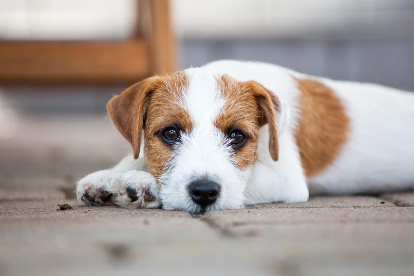 Ein süßer kleiner Terrier liegt draußen auf dem Boden