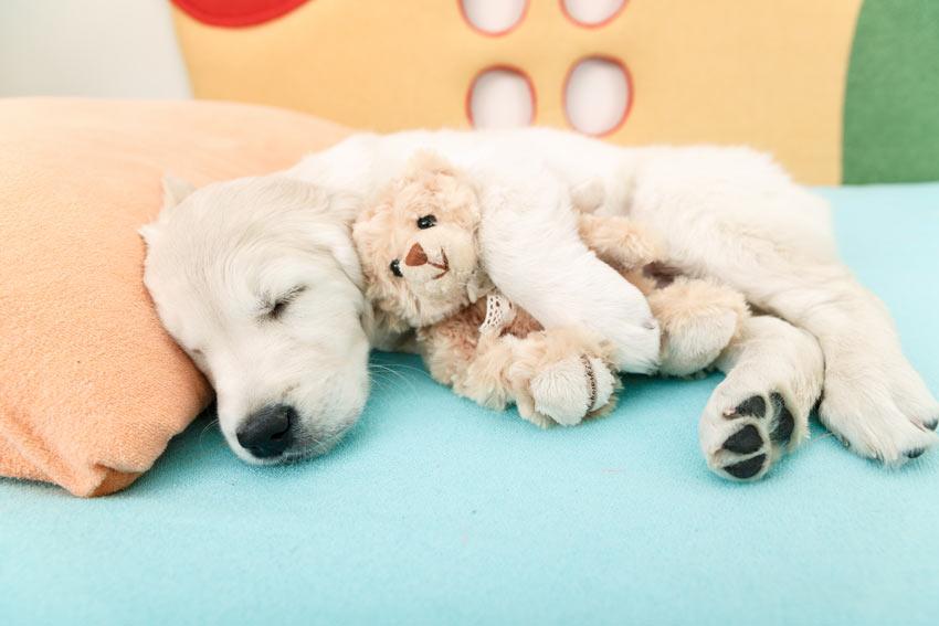 Ein süßer junger Labrador Welpe schläft mit einem Kuscheltier