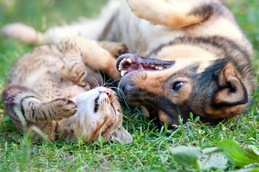 Ein Hund und eine Katze rollen auf dem Gras