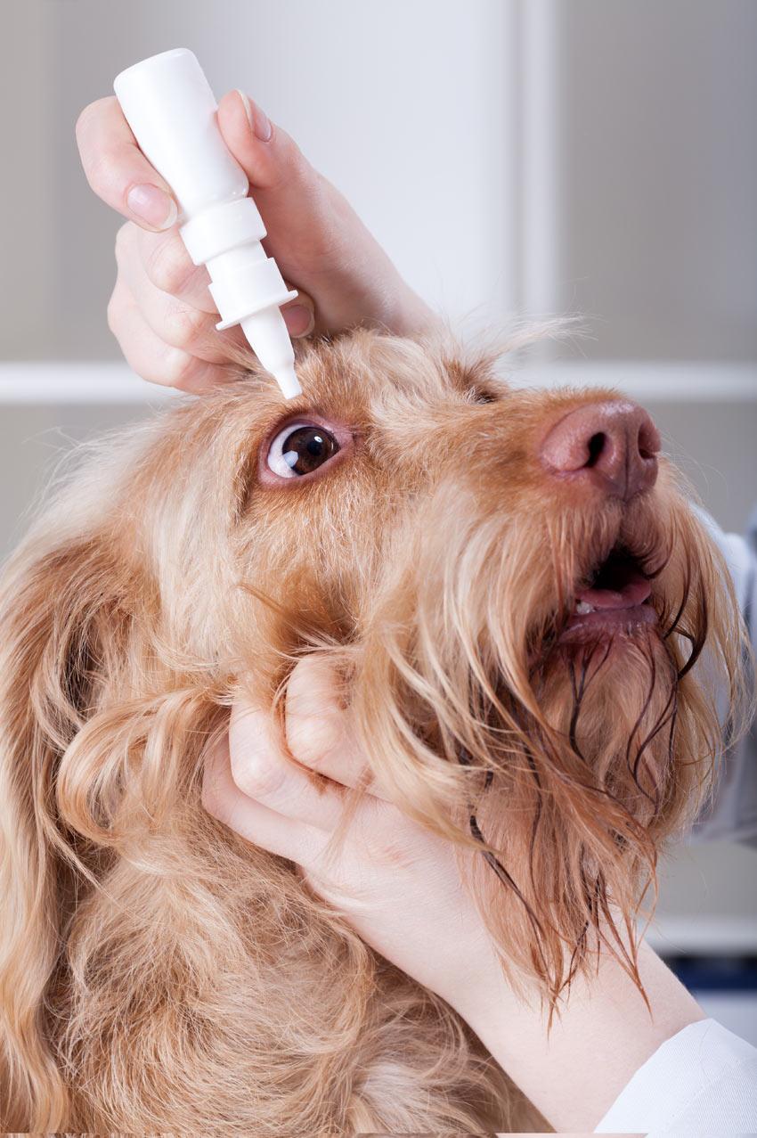 Einem Hund werden Augentropfen gegeben