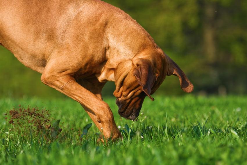 Ein Hund gräbt ein Loch im Garten