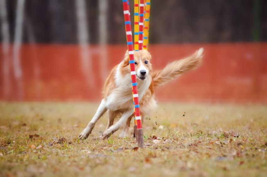 Ein Hund macht schnell wie der Blitz einen Beweglichkeitsparcours