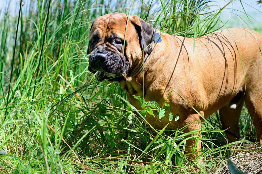 Ein Hund isst Gras, damit er sich übergibt