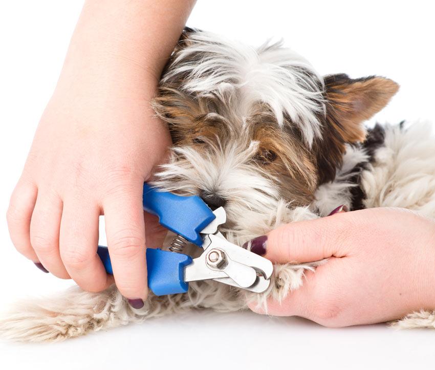 Ein Hund, dem die Nägel mit einem Nagelknipser gekürzt werden