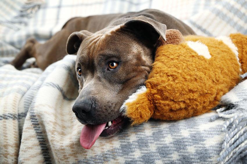 Ein Hund liegt auf dem Sofa und fordert die Autorität seines Besitzers heraus