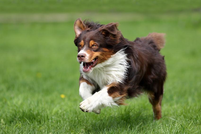 Ein Hund spielt Apportieren und rennt zu seinem Spielzeug