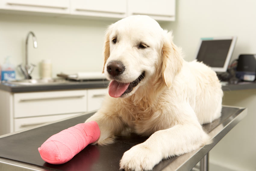 Ein Hund erholt sich, nachdem er einen Gipsverband am Fuß bekommen hat