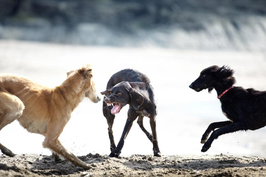 Ein Hund knurrt zwei andere Hunde am Strand an