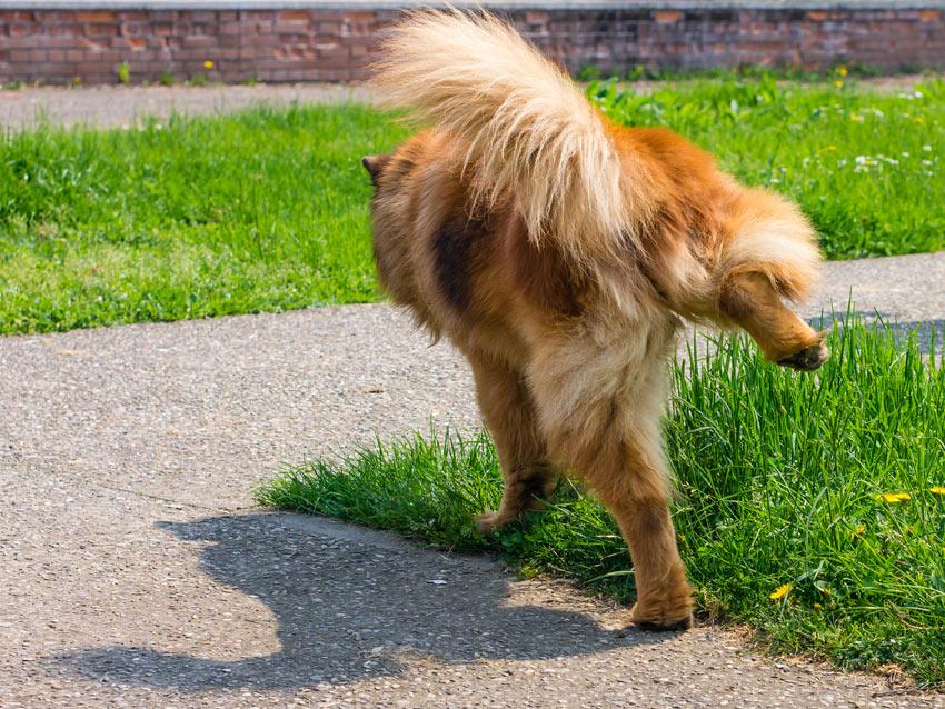 Ein Hund pinkelt aufs Gras und hinterlässt seine Duftmarke für andere Hunde