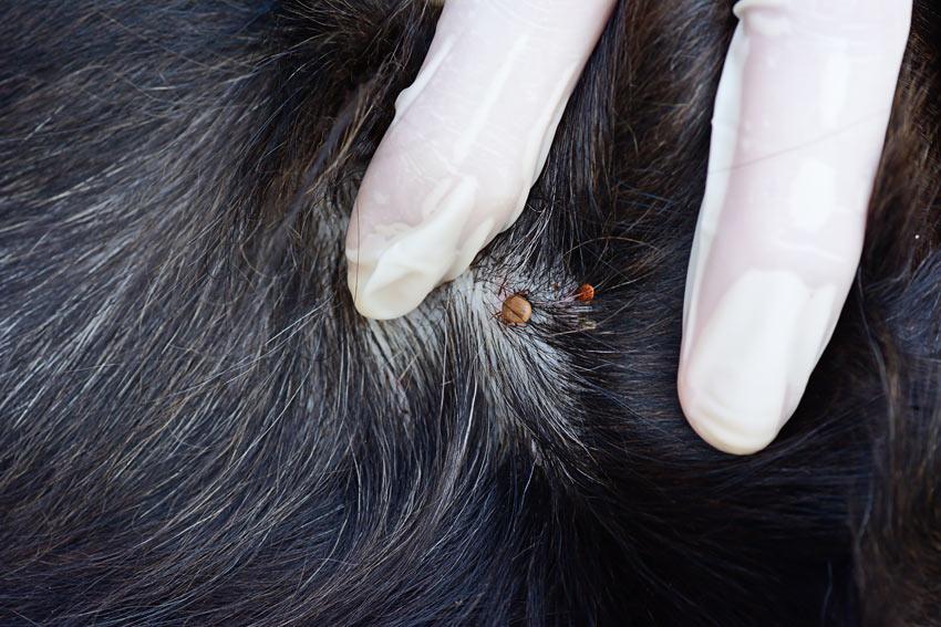 Ein Hund mit einer Zecke auf der Haut