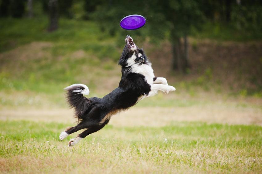 Ein fitter und gesunder Collie springt nach einem  Frisbee