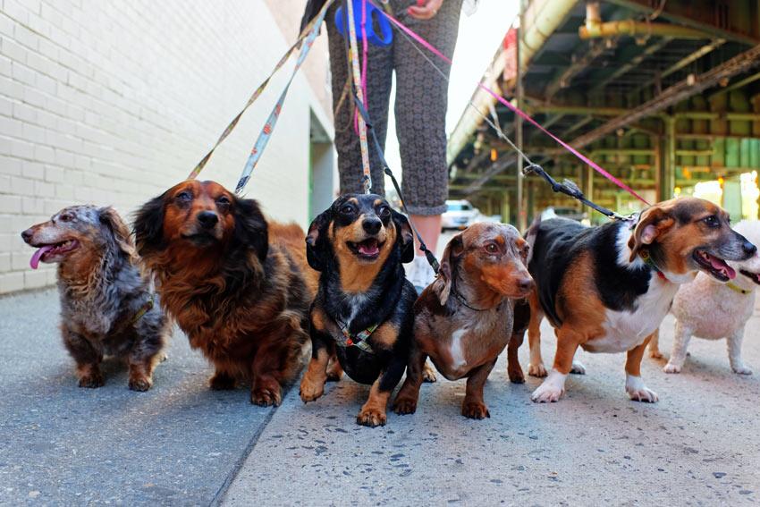 Eine Gruppe von Dachshunden, die von einem Hundeführer ausgeführt werden