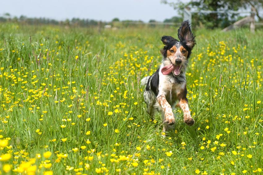 Ein glücklicher Spaniel bekommt einen langen Spaziergang und ist noch voller Energie