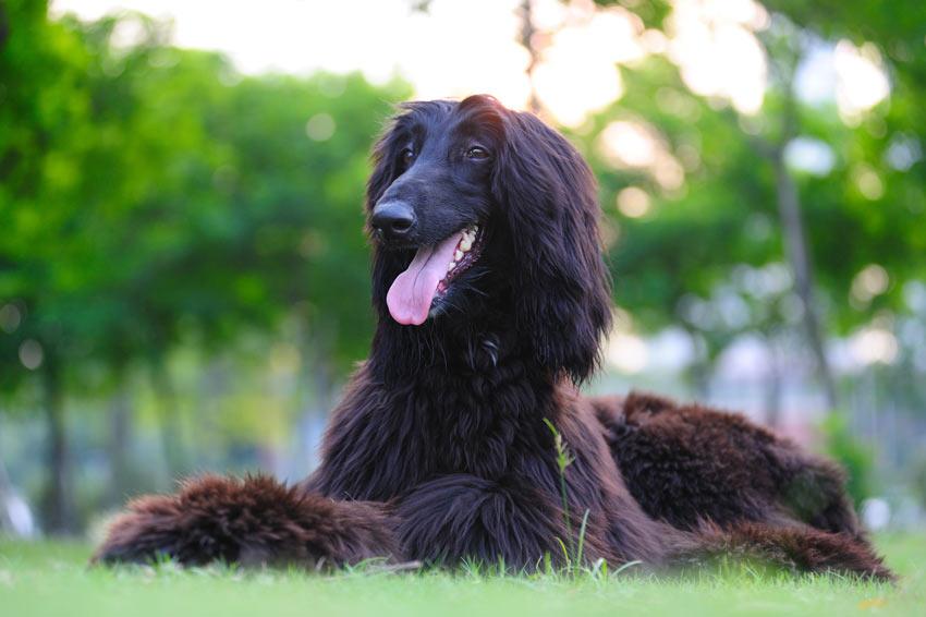 Ein gesunder und glücklicher Afghanischer Windhund liegt auf dem Gras