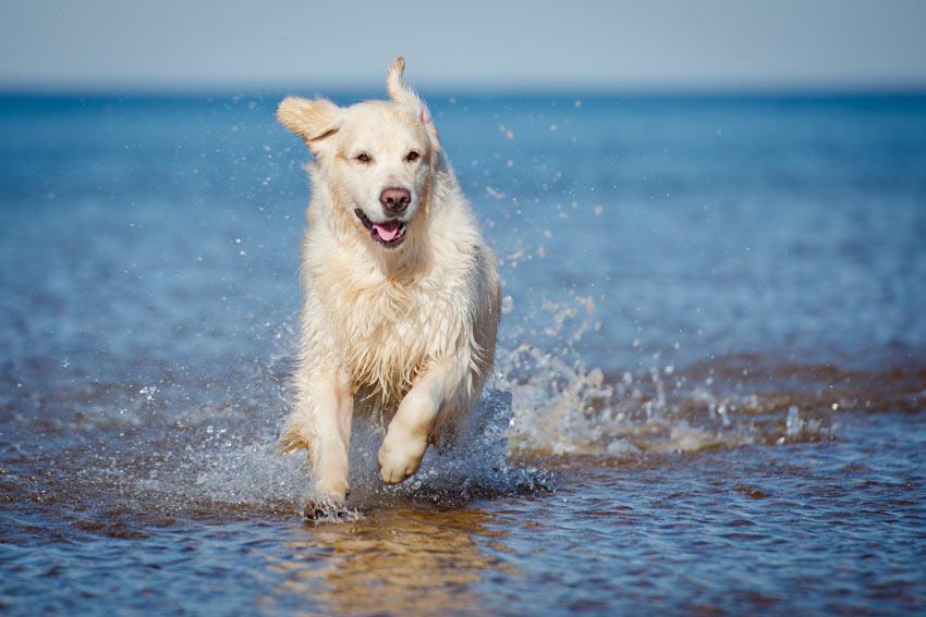 Ein gesunder und glücklicher Golden Retriever planscht im Wasser herum