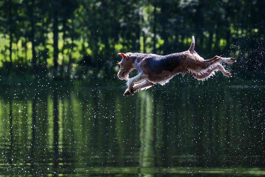 Ein erhitzter Hund kühlt sich durch einen Sprung in einen schönen kalten See ab