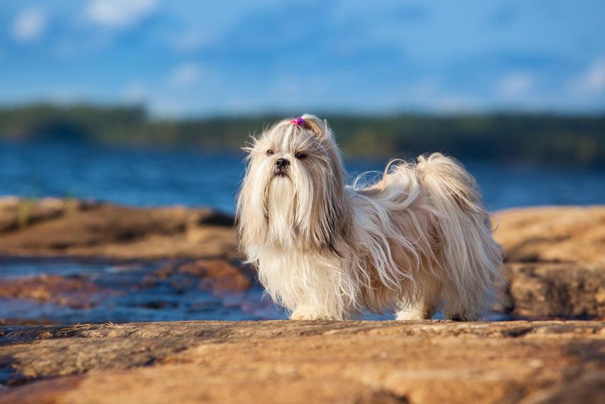 Ein hypoallergener Shih Tzu mit unglaublich langem, weißen Fell und kurzen Beinen