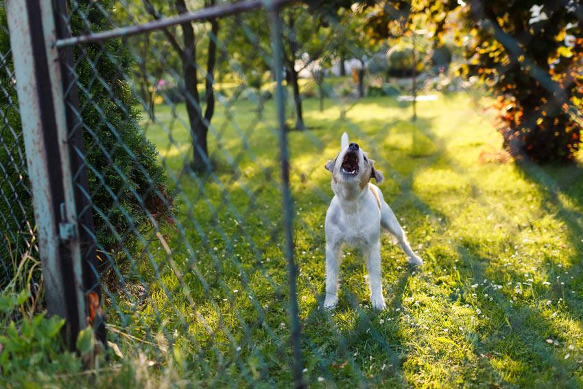 Ein kleiner Terrier bellt auf seinen draußen stehenden Besitzer