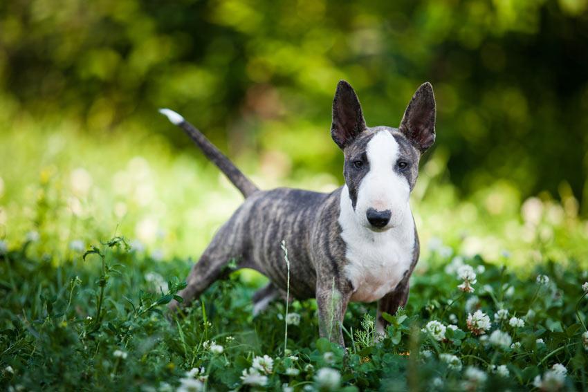 Ein liebenswerter junger Bull Terrier mit kurzem, hypoallergenem Fell
