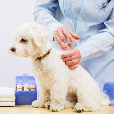 Ein Malteser Welpe bekommt seine Impfung