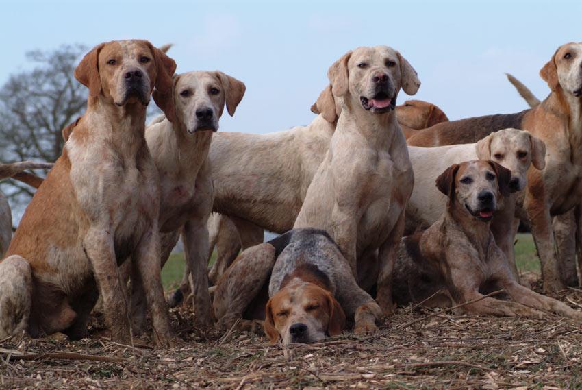 Ein Rudel English Foxhounds mit kurzem, weichen Fell