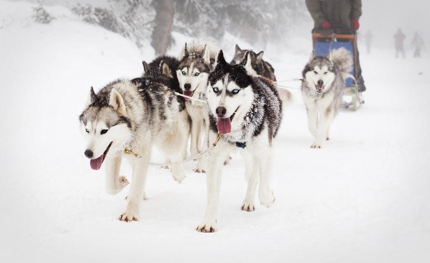 Ein Rudel Siberian Huskies ziehen ganz natürlich
