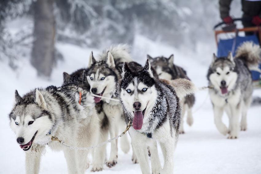 Ein Rudel Siberian Huskies ziehen einen Schlitten