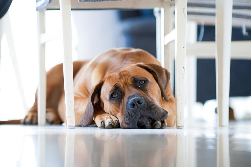 Ein trauriger Mastiff ist allein daheim