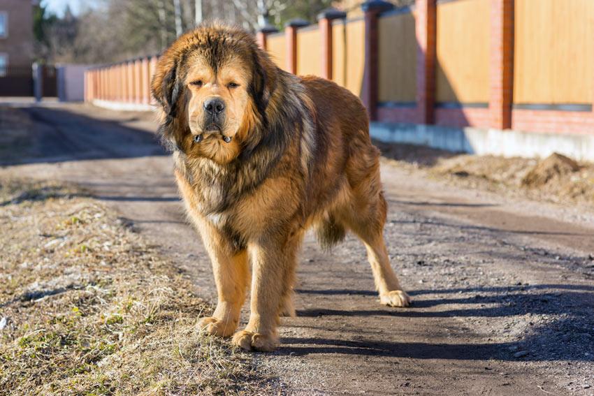 Ein großer und muskulöser Do Khyi Wachhund