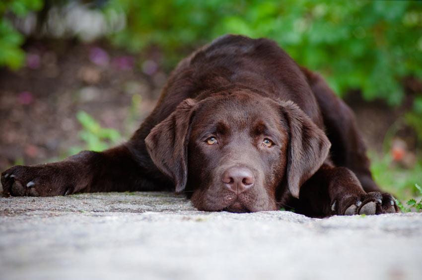 Ein ganz traurig schauender schokoladenbrauner Labrador