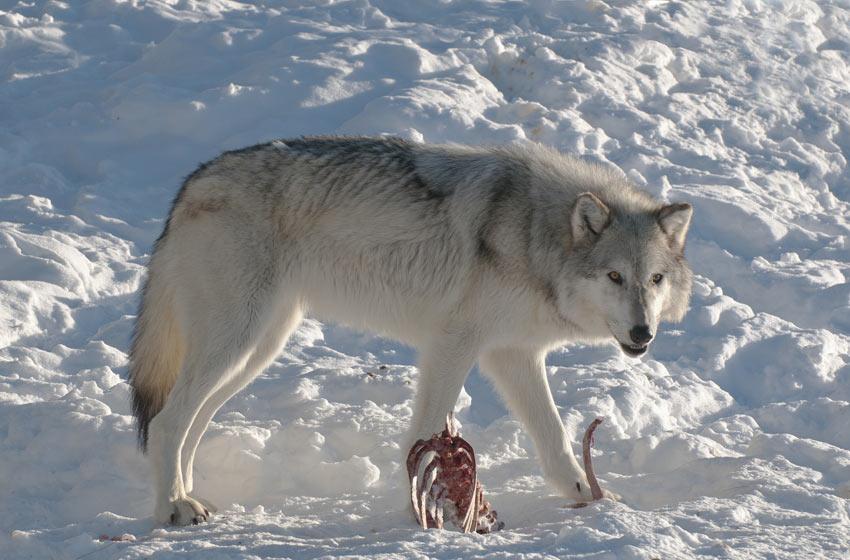 Ein weißer Wolf mit einem Tierkadaver