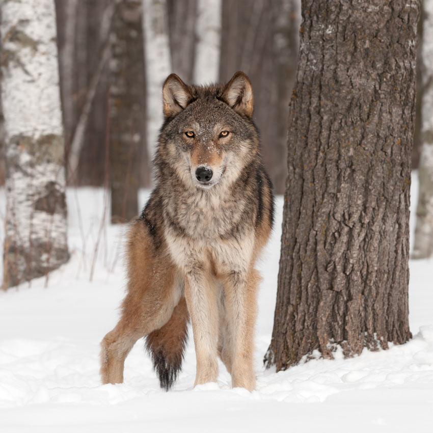 Ein wilder Wolf