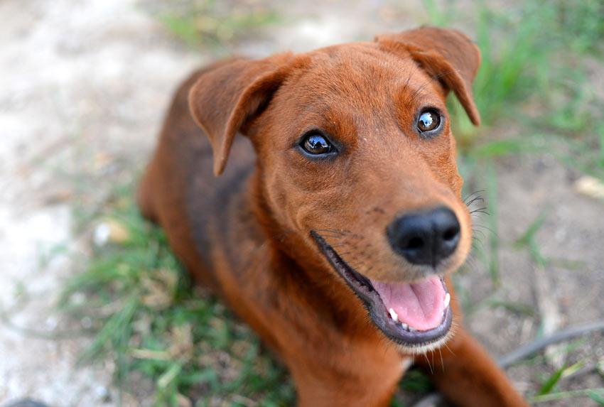 Ein Terrier mit drahtigem und unglaublich rotem Fell