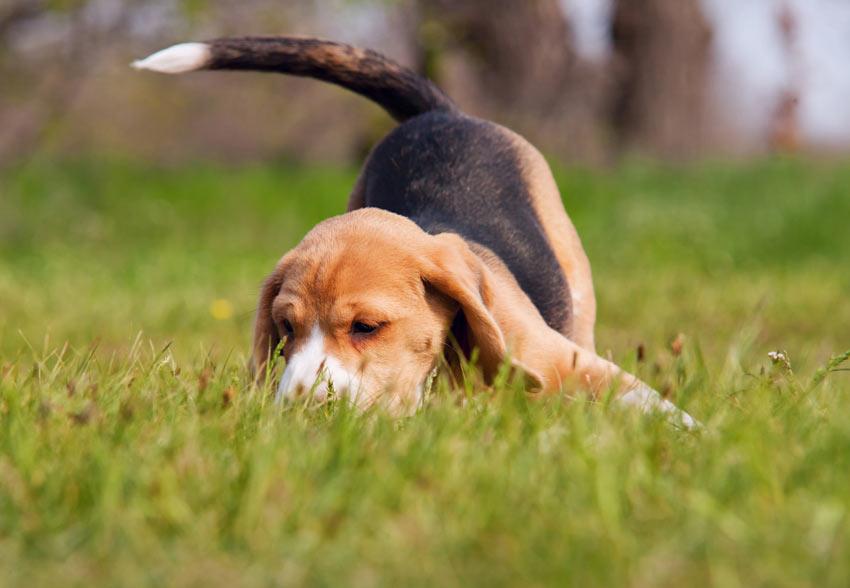 Ein wundervoller kleiner Beagle Welpe streift im Garten herum
