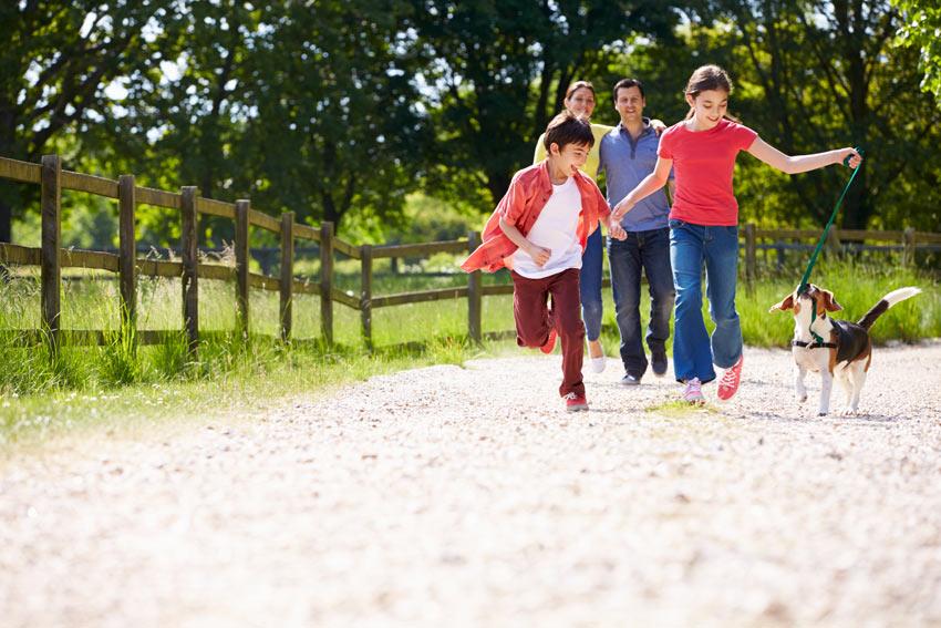 Ein junger Beagle wird unter der Aufsicht der Eltern spazieren geführt